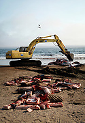 An excavator moves a 42-foot fin whale calf that beached itself then died in Stinson Beach, Calif., Monday, August 19, 2013.  Marine biologists and veterinarians performed a necropsy on the mammal, then dismantled it for burial.  The whale was too heavy for the excavator to move in one piece.  The calf was estimated to be about a year old, and full grown fin whales can be between 40-80 tons.