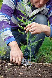 Cutting down asparagus in autumn.