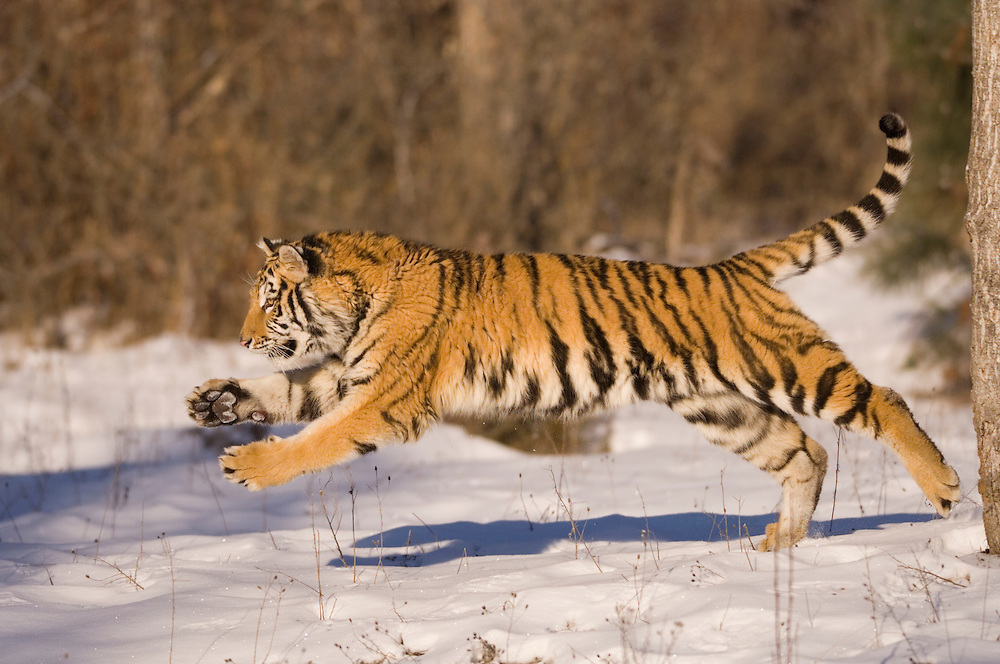 Siberian tiger, Panthera tigris altaica, also known as Amur, Korean or North Chinese tiger; native to Far Eastern Siberia