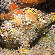 Longlure Frogfish inhabit coral reefs, often change color to blend with sponges in Tropical West Atlantic; picture taken Barbados.