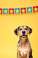Portriat of a smooth haired black and tan dog with star banner against yellow seamless. Photographed at the Photoville Photo Booth September 20, 2015
