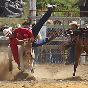 Warren Nichol from Omakau comes to grief as the steer gets the better of him during the Steer Wrestling competition at the Southland Rodeo, Invercargill,  New Zealand. 29th January 2012