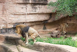 a lion defecating at the zoo in Columbia, SC