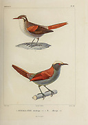hand coloured sketch Top: stripe-crowned spinetail (Cranioleuca pyrrhophia [Here as Synallaxis striaticeps]) Bottom: light-crowned spinetail (Cranioleuca albiceps [Here as Synallaxis albiceps]) From the book 'Voyage dans l'Amérique Méridionale' [Journey to South America: (Brazil, the eastern republic of Uruguay, the Argentine Republic, Patagonia, the republic of Chile, the republic of Bolivia, the republic of Peru), executed during the years 1826 - 1833] 4th volume Part 3 By: Orbigny, Alcide Dessalines d', d'Orbigny, 1802-1857; Montagne, Jean François Camille, 1784-1866; Martius, Karl Friedrich Philipp von, 1794-1868 Published Paris :Chez Pitois-Levrault et c.e ... ;1835-1847
