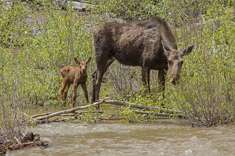 After giving birth to her tiny calf on an island in the Shoshone River, the moose cow and calf are stranded on the island as the river's water begins to rise.