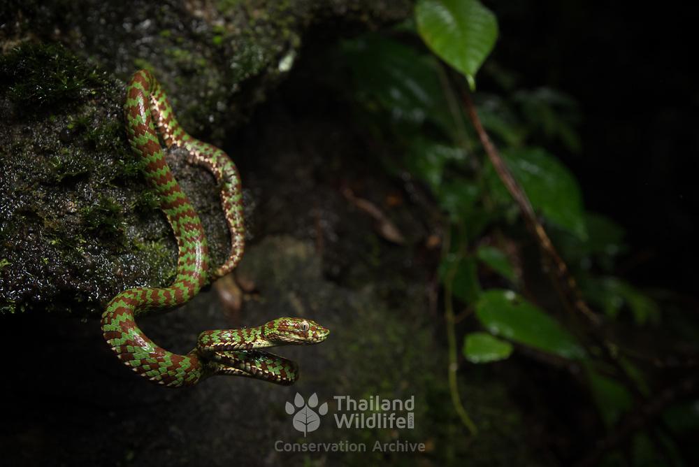 Beautiful Pit Viper (Trimeresurus venustus) in Krabi, Thailand