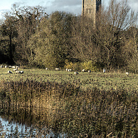 The tower of Eye church rising above the sheep meadows