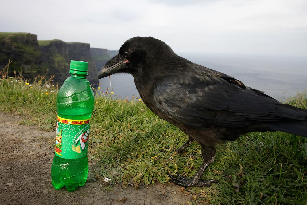 Raven (Corvus corax) Cliffs of Moher Ireland