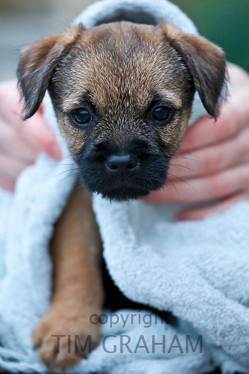 Cute Border terrier puppy 8 weeks old