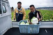Masao Hariu, head of marketing and sales at the JA Miyagi Agriculture Cooperative Association (r) and Mitsuo Sugawara load Sendai Hakusai cabbages grown on Sugawara's farm in Higashi-Matsushima, Miyagi Prefecture, Japan on 30 Nov. 2011.Photographer: Robert Gilhooly