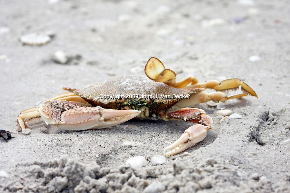 Blue Crab stranded on a beach