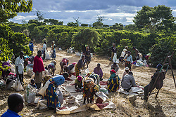 July 17, 2016 - Lusaka, Zambia - Pickers remove unripe or overripe coffee beans and foreign debris from their daily harvest to prepare it for weighing at the Mubuyu Farm, Zambia. Mubuyu farm is the largest producer of coffee in Zambia and the only private one. It belongs to Willem Lublinkhof who came to the country 45 years ago with the Dutch development service. Because coffee products are not very popular among Zambians, the bulk of it goes for export. There are 65 hectares of land under the coffee plantation today instead of 300 hectares in 2009. The manager of the coffee production Monday Chilanga says that the main reason of the reducing is very low prices for coffee. (Credit Image: © Oleksandr Rupeta/NurPhoto via ZUMA Press)