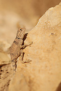 Sinai Agama (Agama sinaita), basking on a rock. Photographed in Israel in November