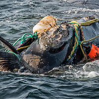 Fishing ropes wrap around the head and mouth, damaging the baleen of a severely entangled North Atlantic right whale (Eubalaena glacialis) in the Gulf of Saint Lawrence, Canada. Fishing gear entanglement is a leading cause of death in North Atlantic right whales. IUCN Status: Endangered.