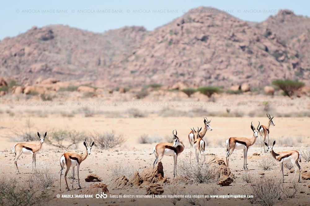 Um grupo de gazelas, cabras-de-leque (Eudorcas thomsonii /LAT/; Thomson's gazelle /ENG/) no deserto do Namibe, no Parque Nacional do Iona, província do Namibe, Angola.