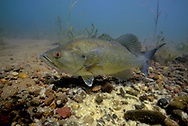 Largemouth Bass (male guarding nest of eggs)<br />