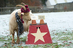 """Boots the fortune telling goat gives their predictions for 2017, at Lanton Hill Farm, Jedburgh. Think this was """"Will Nicola Sturgeon set a date for Indy 2""""."""