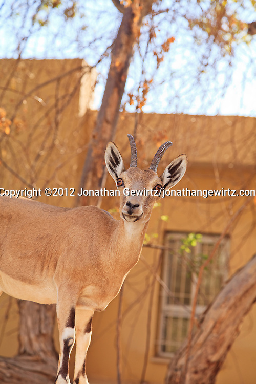 A Nubian ibex (Capra nubiana) stands next to a building near the Ein Gedi nature preserve. WATERMARKS WILL NOT APPEAR ON PRINTS OR LICENSED IMAGES.