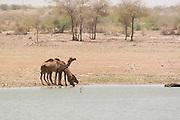 India, Rajasthan, Jaisalmer, camels on the shore of Gadi Sagar lake