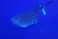 Whale Shark (largest member of the shark family) but not dangerous since it is a filter feeder..(Rincodon typus).Bonaire, Netherlands Antilles