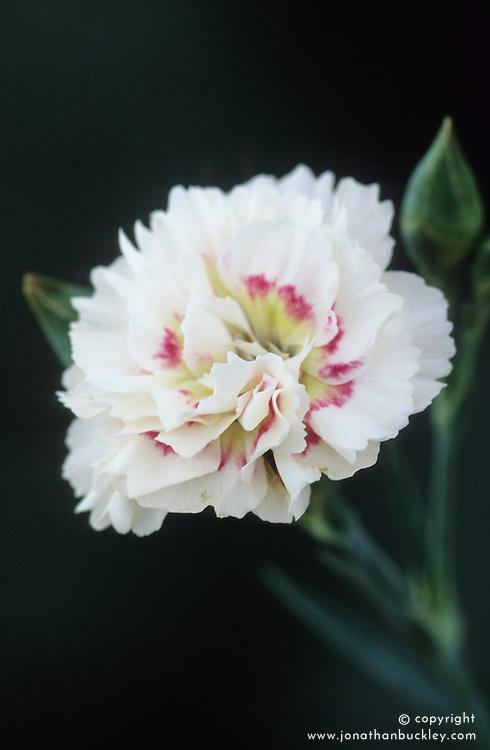 Dianthus 'Alan Titchmarsh'- Carnation, Pink