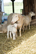Ewe and her young lamb in the barn