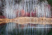 Winter Aspen Grove Reflecting in Banks Lake