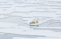 A Polar Bear (Ursus maritimus) relaxes on pack ice after feeding in Storfjorden.  Storfjorden, Svalbard, Norway.