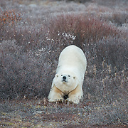 A polar bear (Ursus maritimus) on the tundra near Churchill, Hudson Bay, far north Manitoba, Canada. During a six-week span in October and November this area has the highest concentration of polar bears in the world. The bears assemble along the coast, and wait for the sea ice to form so they can begin hunting seals. The bears fast during this time, so if the ice forms later in the year, the bears must fast for longer, therefore decreasing their chances of surviving until winter.  As global temperatures warm, the bears in this area are struggling to adapt in time to meet the longer summers. This is demonstrated in many ways, including the number of cubs a female has each season. Fifteen years ago it was common to see a mother bear with three babies, and seven years ago twins were still common. Now bears here seldom give birth to more than one cub, and many females are not fit enough to produce even a single offspring.  Photo (c) William Drumm, 2013.