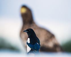 Magpie (Pica pica) in front of  White-tailed Eagle Haliaeetus albicilla) in Smøla, Norway