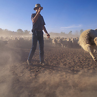 Australia, New South Wales, (MR) Ranch hand Peter Coble counts Merino Sheep in dusty paddock at Narra Allen Station