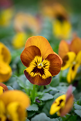 Viola 'Sorbet Honeybee'