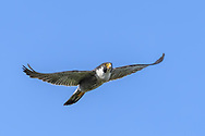 Peregrine falcon flying hard with downward wing stroke bending the primaries upward. The airfoil wing form is evident. © 2019 David A. Ponton