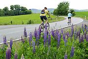 Lupinen (Lupinus), Blumen am Straßenrand, Fahrradfahrer, Nordhessen, Hessen, Deutschland | lupinus, flowers near road, cyclists, Hesse, Germany