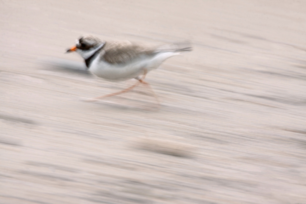 Ringed Plover (Charadrius hiaticula) near Saltee Islands south-east coast, Ireland