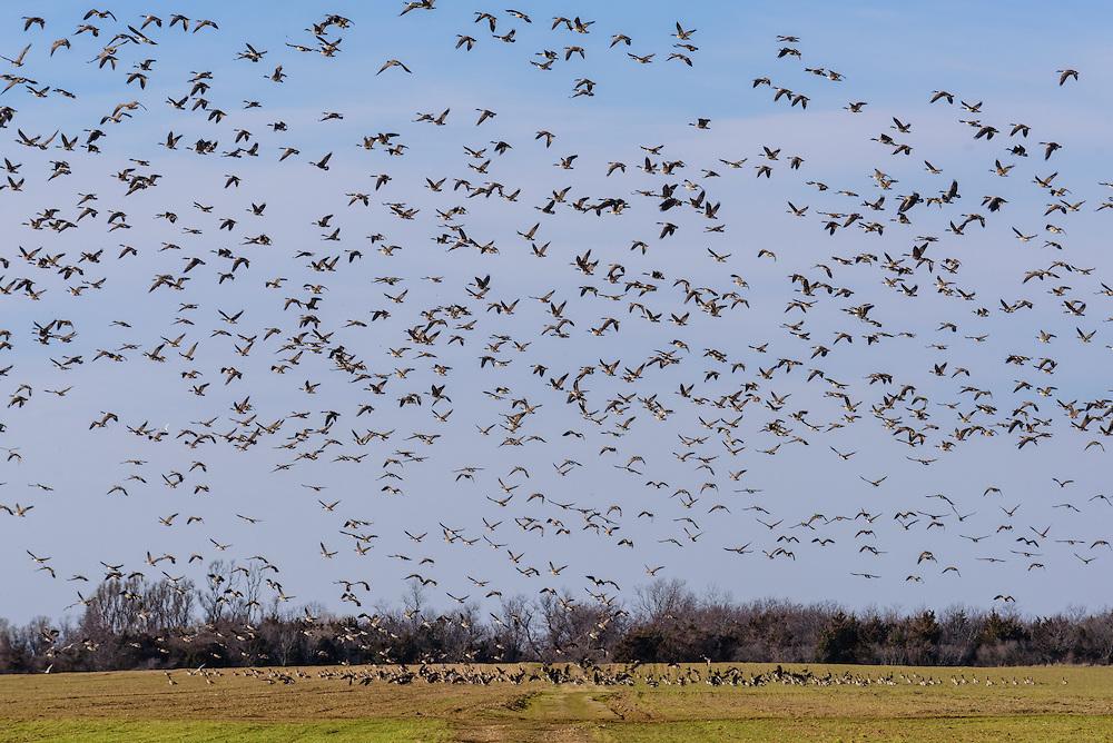 Canada Geese Flying above farm field, Cutchogue, New York