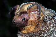 A hoary bat (Lasiurus cinereus) portrait. Northern Oregon. © Michael Durham / www.DurmPhoto.com