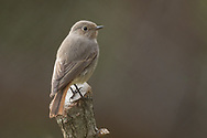 A black redstart perches on the end of a broken branch, Parc de l'Oreneta, Barcelona, Spain.