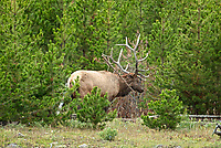 An angry Bull Elk tears apart an old dead pine tree as a warning to another bull elk in the area that he is not wanted here.