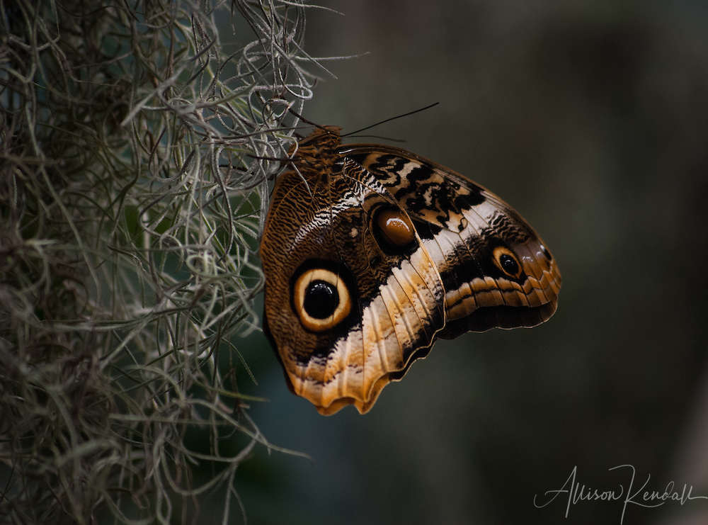 Giant Owl butterfly resting on hanging moss