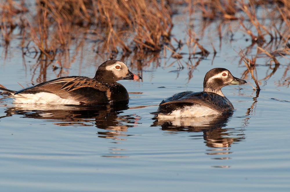 Long-tailed duck (Clangula hyemalis) pair on tundra pond near Barrow Alaska