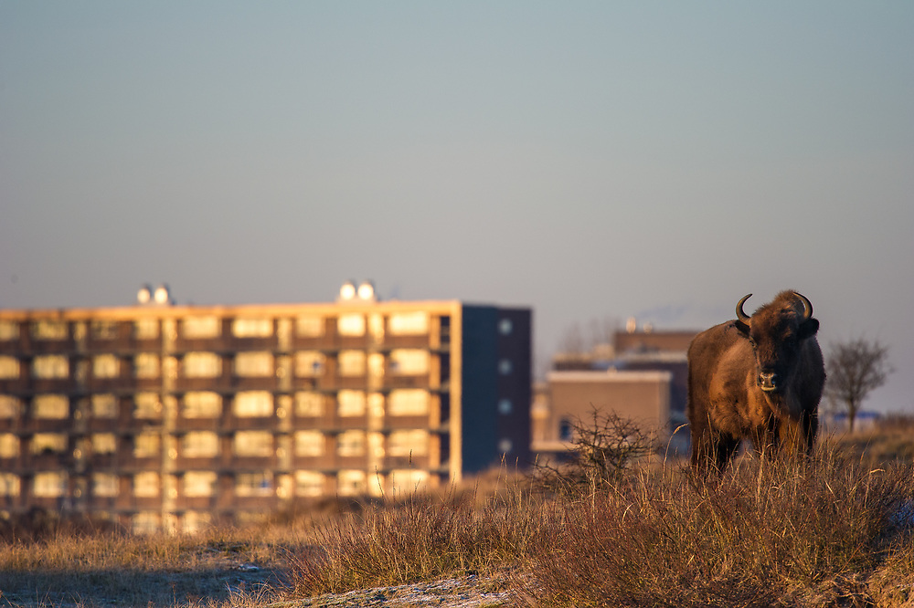 European bison (Bison bonasus) standing on dune top at the edge of the reserve next to the city of Zandvoort