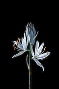 The bloom of a camas flower (Camassia quamash) from Weippe Praire, Idaho. The bulbs of these plants are edible and are a valuable food source for the Nez Perce tribe.
