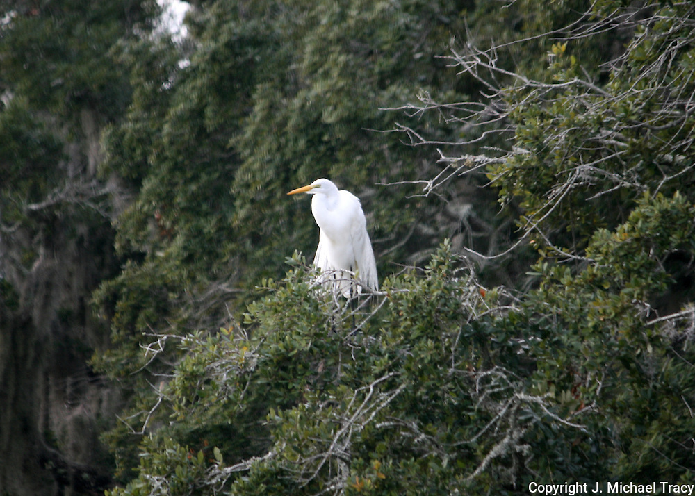 A Great Egret perched in a tree sunning itself and drying out it's feathers.