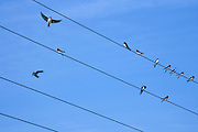 swallows sitting on electrical wires against a bright blue sky