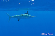 free swimming blue marlin, Makaira nigricans, Vava'u, Kingdom of Tonga, South Pacific