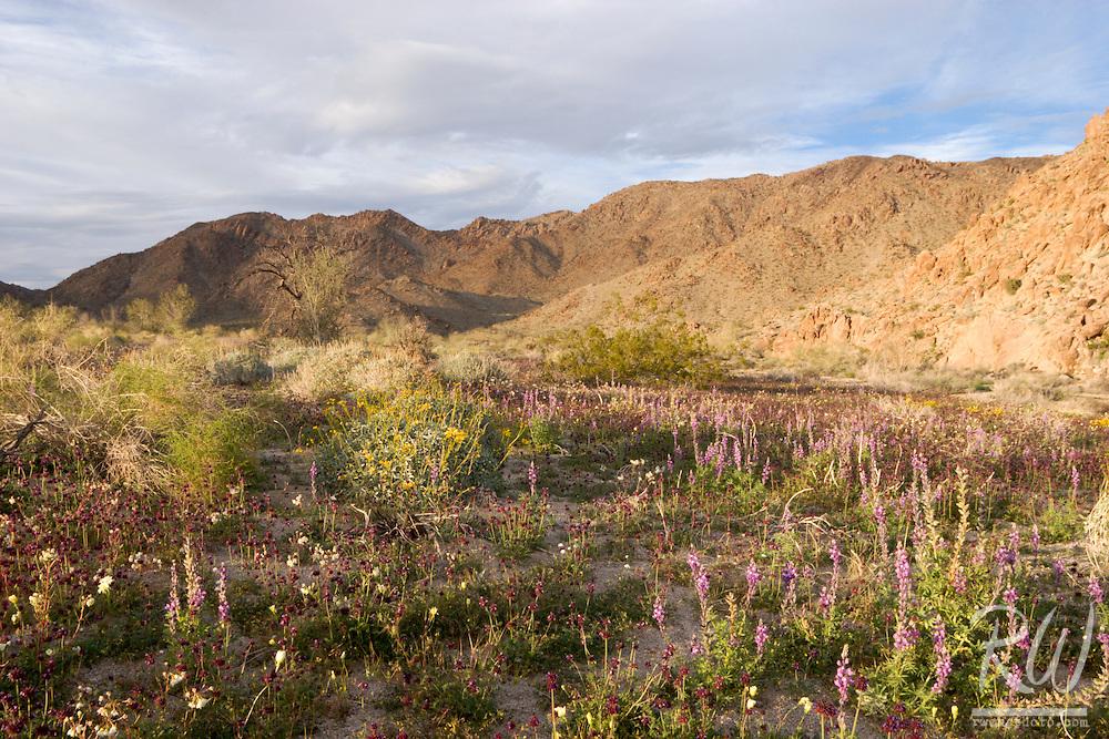 Colorado Desert Spring Wildflowers, Joshua Tree National Park, California