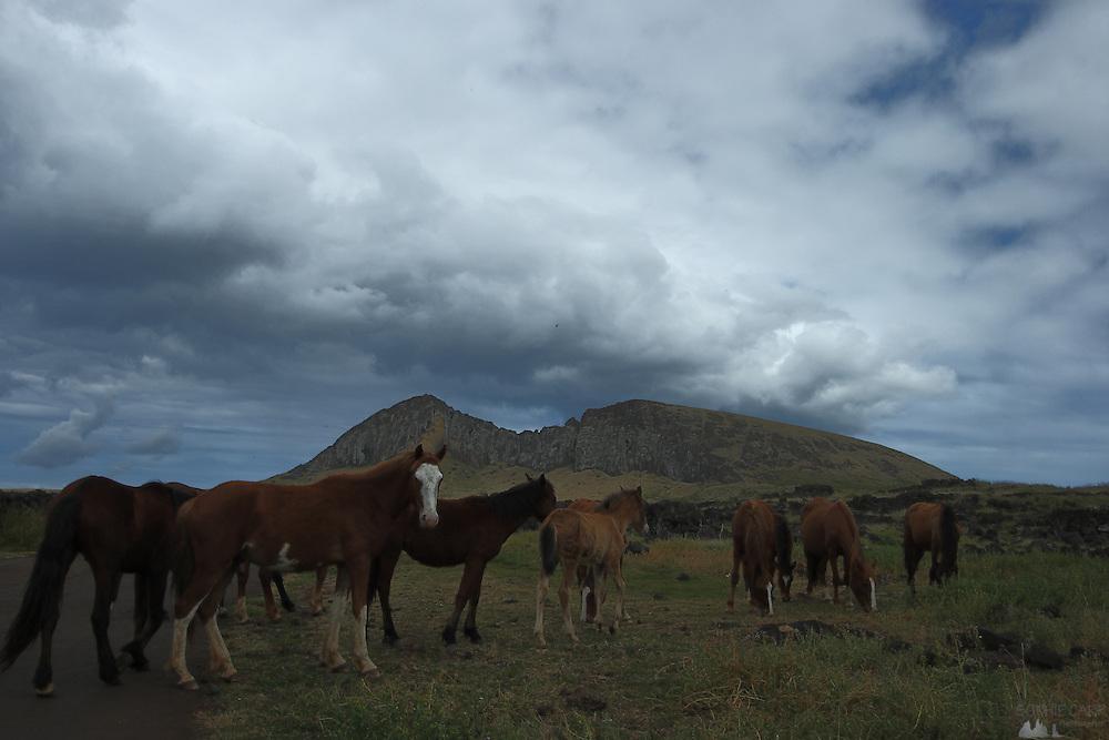 Wild horses roam freely near the Rano Raraku volcano in Easter Island
