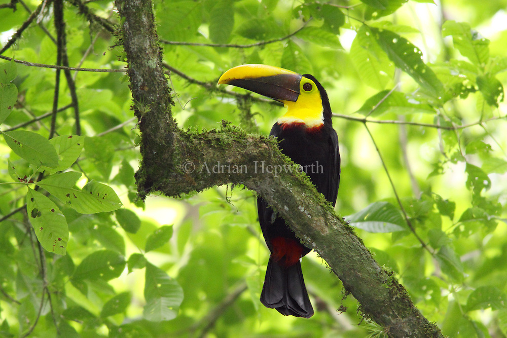 Chestnut-mandibled Toucan (Ramphastos swainsonii)  in rainforest, La Selva Biological Station, Costa Rica. <br />