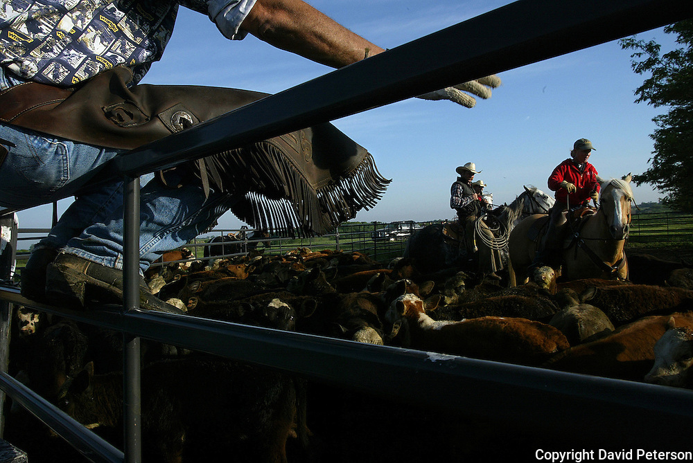 A cowboy sits on a fence, taking a break, as his co-workers herd cattle to be branded  and vaccinated on the Bar B ranch near Albia, Iowa.   A crew of about 20, some real cowboys from the Flint Hills of Kansas, helped owner Catherine Bay with the annual spring roping and roundup.
